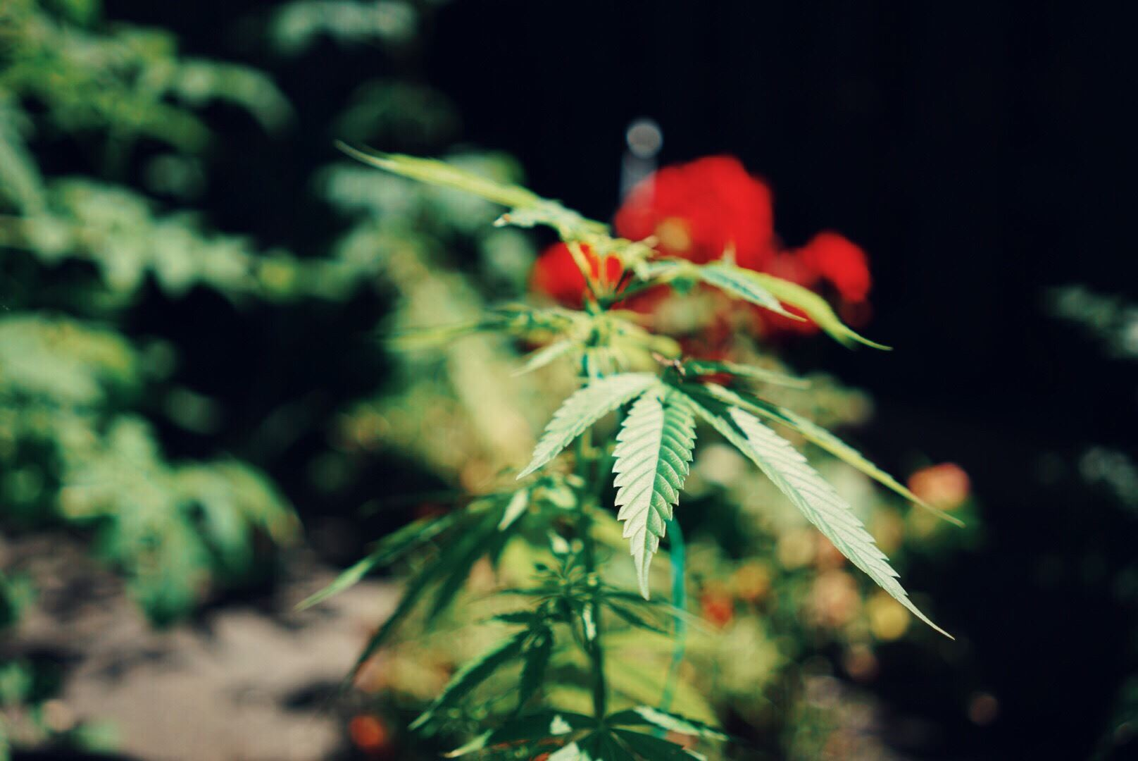 cannabis farm with flowers